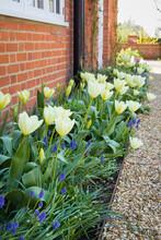 Spring Garden Flower Border, Tulips And Muscari Flowers, UK