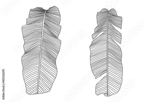 Fototapeta Line Banana leaf lined design fresh on white background illustration vector