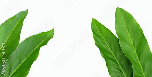 Billede på lærred Fresh galangal leaves isolated on white background.
