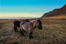 Icelandic Horse With A Thick Winter Coat, In A Field Next To Vestrahorn, Mountain.