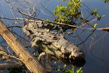 Cocodrilo Gigante Escondido En El Agua (estero De Manzanillo, Jalisco)