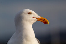 A Close Up Portrait Of A Seagull