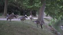 Ducks Walk And Eat By The Lake Belgium