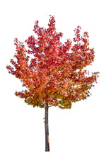 Color In Fall, Maple Leaf On White Background