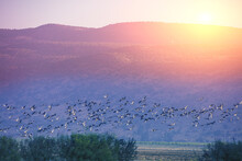 Birds (Common Crane) Against The Background Of The Mountains In The Evening. The Hula Valley In Northern Israel At Sunset. Artistic Gradient Color