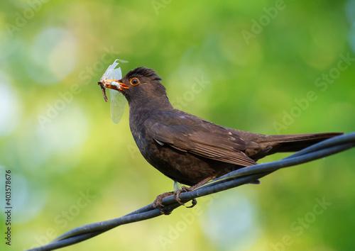Photo Common blackbird, Turdus merula