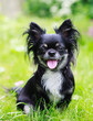 canvas print picture Happy chihuahua on green grass background