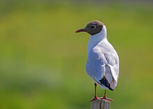 The Black-headed Gull (Chroicocephalus Ridibundus) Is A Small Gull.
