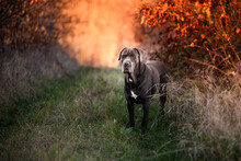 Pictures Of Beautiful Gray Cane Corso Breed Taken During A Regular Walk And Obedience Training