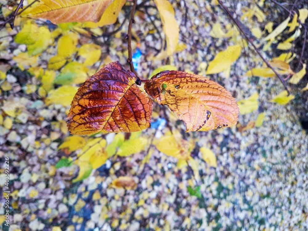 Fototapeta Jesienny krwisty liść