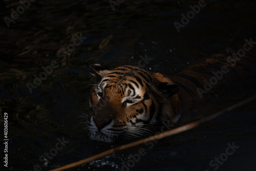 Canvas tiger wildlife mammal predator, wild carnivore animal, bengal tiger showing in z