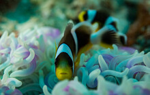 Black Yellow Clownfish On An Anemone Close Up Seychelles Indian Ocean