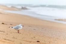 Black-headed Gull On A Beach