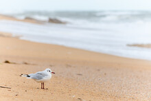 Black-headed Gull On A Beach