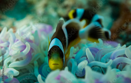 Canvas Black yellow clownfish on an anemone close up Seychelles Indian ocean