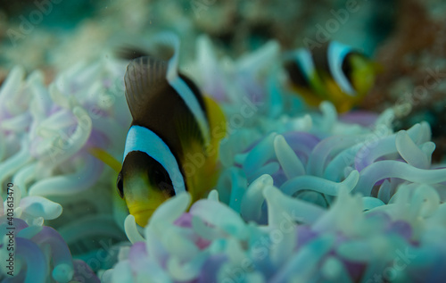 Black yellow clownfish on an anemone close up Seychelles Indian ocean Fotobehang
