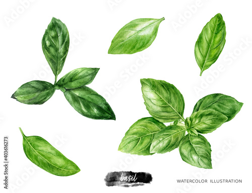 Fototapeta Basil fresh sprig watercolor illustration isolated on white background obraz