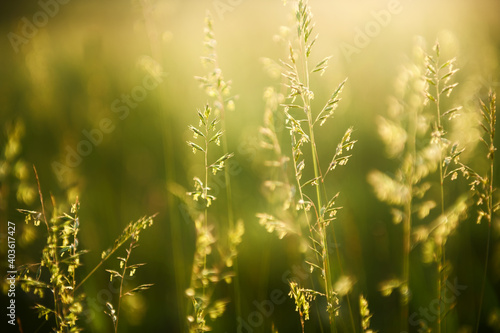Fototapeta Green grass in a forest at sunset. Macro image, shallow depth of field. Summer nature background. obraz