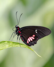 Close Up Side View Of Male Pink Checked Cattleheart Butterfly Standing On Green Leaf