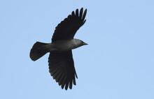 Jackdaw In Flight Background, Corvus Monedula