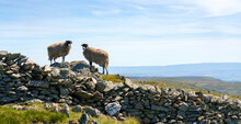 Two Sheep In The Mountain Countryside Of The Lake District Hill