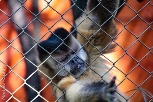 Fotografiet Monkey in a cage