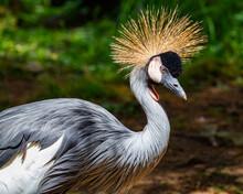 A Portrait Of A Black Crowned Crane.