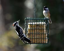 Woodpecker And Chickadee Sharing The Suet