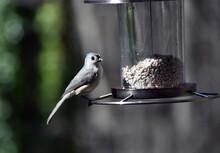 Tufted Titmouse Sitting On Bird Feeder