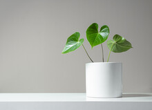 Beautiful Leaves Of Anthurium In A White Pot On A Light Background, Minimalism And Scandinavian Style