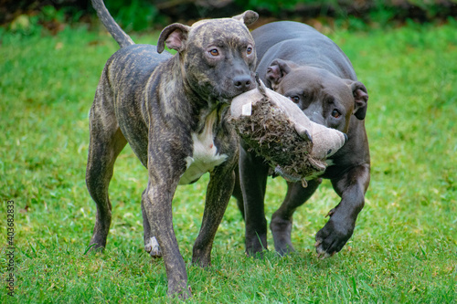 Papel de parede american staffordshire terriers play with stuffed toy
