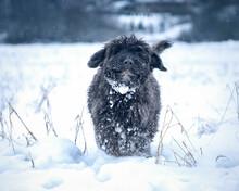 Zadowolony Pies Rasy Bouvier Des Flandres Stoi Na śniegu
