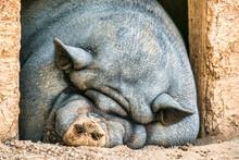 Big Pot Bellied Pig