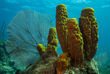 Yellow sponge close up Isla de Juventud Cuba