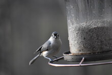 North Carolina Tufted Titmouse On Feeder