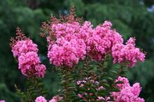 Pink Crape Myrtle Flowering Tree
