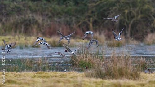 Fototapeta premium Eurasian Wigeon, Mareca penelope birds in flight in environment