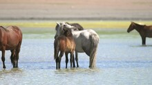 Free Herd Of Wild Horses In Natural Lake Water. Wildlife Animal Horse Flock Crowd Crowded Unfettered Liberty Documentary Film Footage Group Animals Cinematic Background Landscape View Nature Real