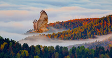 Red-tailed Hawk Flying Over The Mountains With Multi Clored Tree Forest