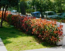 A Photinia Fraseri Red Robin Hedge With Red And Green Leaves, In A Garden In Attica, Greece