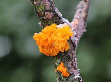 Goldgelber Zitterling - Golden Jelly Fungus