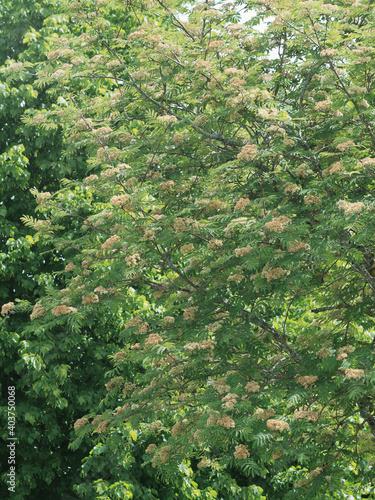 Slika na platnu (Sorbus aucuparia) Sorbier des oiseleurs ou arbre à grives aux petites fleurs bl