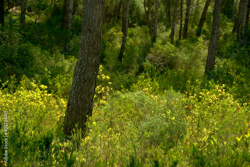 Pinar de S' Albufera.Bahia de Fornells.Menorca.Reserva de la Bioesfera.Illes Balears.España.