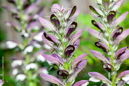 Fotografie, Obraz Acanthus mollis Bear's Breeches a spring summer flowering plant with a white sum
