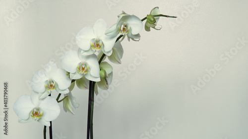 Obraz Biały storczyk - fototapety do salonu