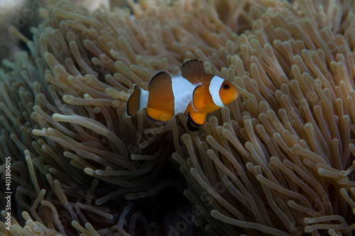 Foto A clown fish or nemo fish in a marine anemone