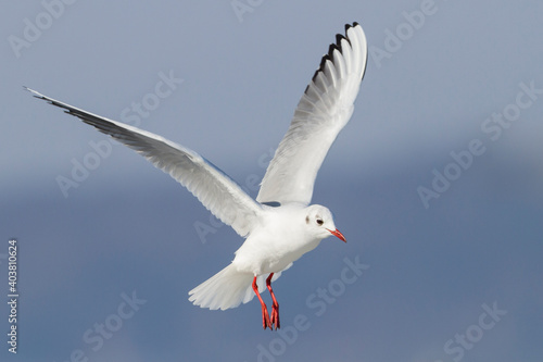 Canvas Print Kokmeeuw, Common Black-headed Gull, Croicocephalus ridibundus