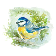 Bird Watercolor Painting, Blue Tit On White Background, Isolated And Hand Painted