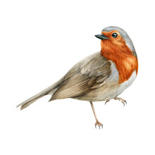 Robin Bird Watercolor Illustration. Beautiful Song Bird Single Side Image. Hand Drawn Close Up Small Garden Avian. Tiny Robin Realistic Illustration Element On White Background. Bright Forest Animal.