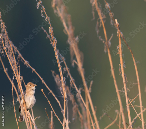 Photo Kleine Spotvogel, Booted Warbler, Iduna caligata